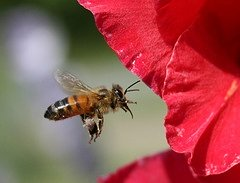 honeybee-red-gold-stripes-hover-remedy