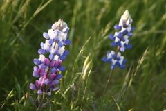 lupines-allergies-flowers-smell